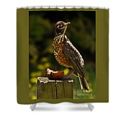 Infant American Robin Shower Curtain