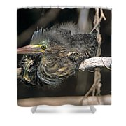 Baby Green Heron Resting On A Branch Shower Curtain
