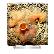 Baby Robins Newly Hatched Shower Curtain