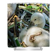Baby Swan Resting Shower Curtain