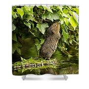 Baby Water Vole Stretching Up Shower Curtain
