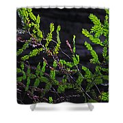Back-lit Conifer Branches Shower Curtain