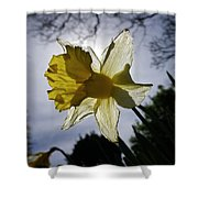 Backlit Daffodil Shower Curtain