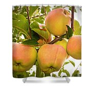 Backyard Garden Series - Apples In Apple Tree Shower Curtain