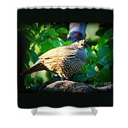 Backyard Garden Series - Quail In A Pear Tree Shower Curtain