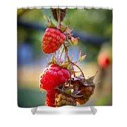 Backyard Garden Series - The Freshest Raspberries Shower Curtain