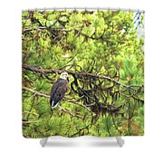 Bald Eagle In A Pine Tree, No. 5 Shower Curtain