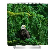 Bald Eagle In Temperate Rainforest Alaska Endangered Species Shower Curtain