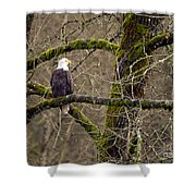 Bald Eagle On Mossy Branch Shower Curtain