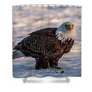 Bald Eagle Over Its Prey Shower Curtain