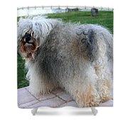 ball of fur Havanese dog Shower Curtain
