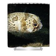 Balloonfish Profile Puffer Fish, Diodon Shower Curtain