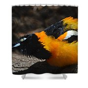 Baltimore  Oriole 2 Shower Curtain