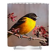 Baltimore Oriole In Crabapple Shower Curtain