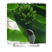 Banana Plant Kew London England Shower Curtain