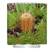 Banksia Spinulosa Shower Curtain