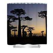 Baobab Forest At Sunset Shower Curtain