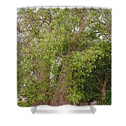 Baobab Tree In Zambia Shower Curtain