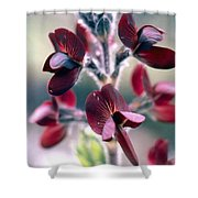 Barbed Thermopsis Or Black Pea Shower Curtain
