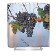 Barbera Grapes Ready For Harvest South Shower Curtain