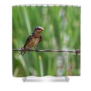 Barn Swallow Shower Curtain