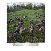 Barred Plymouth Rock Chickens Free Shower Curtain
