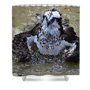 Bathing Osprey In Shallow Water Shower Curtain