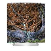 Battered Cypress With Orange Alga Shower Curtain