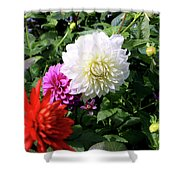 Beautiful And Fresh Dahlias In The Butchrt  Gardens,vancouver Island 1. Shower Curtain