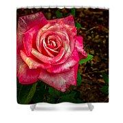Beautiful Bicolor Rose Shower Curtain