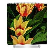 Beautiful Bicolor Tulips Shower Curtain