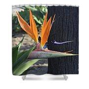 Beautiful Bird Of Paradise Flower In Full Bloom  Shower Curtain