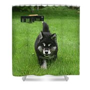 Beautiful Bold Two Month Old Alusky Puppy Dog Shower Curtain