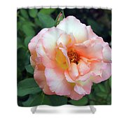 Beautiful Delicate Pink Rose On Green Leaves Background. Shower Curtain