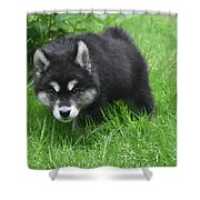 Beautiful Face Of A Black And White Alusky Puppy Shower Curtain