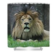 Beautiful Face Of A Male Lion With A Thick Fur Mane Shower Curtain