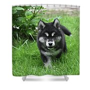Beautiful Face Of An Alusky Puppy Dog In Thick Green Grass Shower Curtain