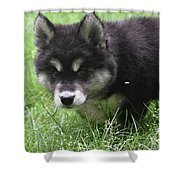 Beautiful Furry Black And White Alusky Only Two Months Old  Shower Curtain