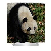 Beautiful Giant Panda Bear Walking Through A Field Shower Curtain