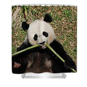 Beautiful Giant Panda Eating Bamboo From The Center Shower Curtain