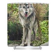 Beautiful Gray Wolf Shower Curtain