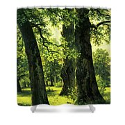 Beautiful Oak Trees Reach To The Skies Shower Curtain