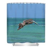 Beautiful Pelican Flying Over Aqua Waters In Aruba Shower Curtain