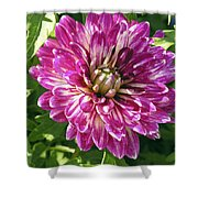 Beautiful Pink And White Dahlia Shower Curtain