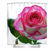 Beautiful Pink Rose With Leaves On A Wite Background. Shower Curtain