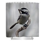 Beautiful Pose - Black-capped Chickadee Shower Curtain