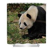 Beautiful Profile Of A Giant Panda Bear Ambling Along Shower Curtain