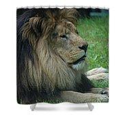 Beautiful Resting Lion In Tall Green Grass Shower Curtain