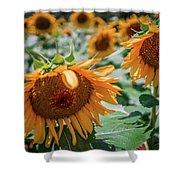 Beautiful Sunflower Field In South Carolina Shower Curtain