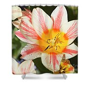 Beautiful Tulip With A Yellow Center And Pink Striped Petals Shower Curtain